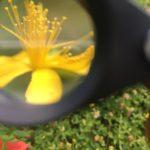 Fleurs de millepertuis Hypericum perforatum